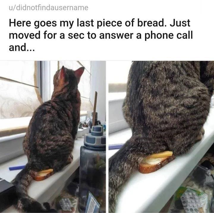u/didnotfindausername Here goes my last piece of bread. Just moved for a sec to answer a phone call and... pics of a cat sitting on top of a slice of bread on a plate