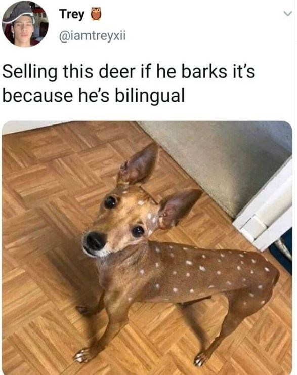 Mammal - Trey @iamtreyxii Selling this deer if he barks it's because he's bilingual ANI
