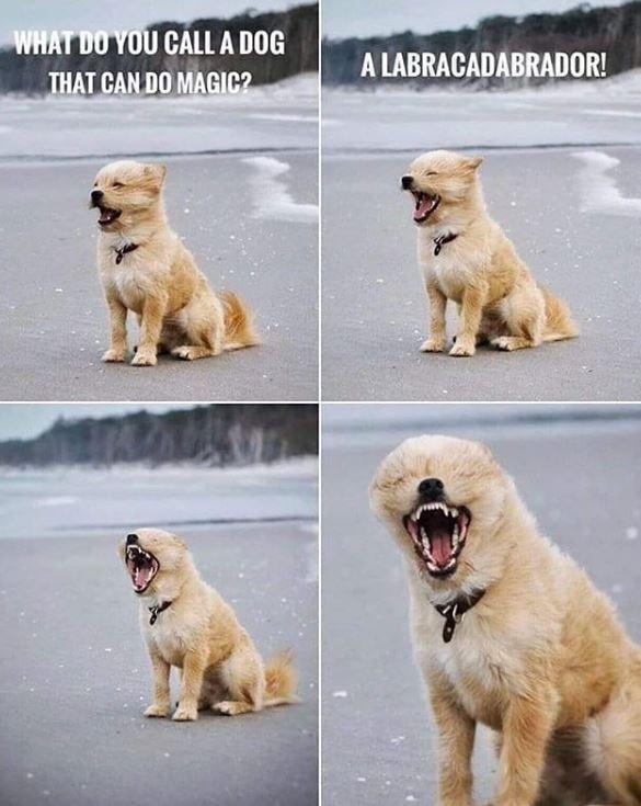 Dog - WHAT DO YOU CALL A DOG A LABRACADABRADOR! THAT CAN DO MAGIC?