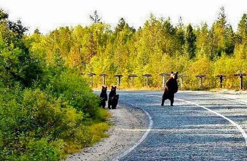 animals pic a mama bear standing on a dirt road in nature looking around while three cubs follow her but stay closer hidden by the bushes