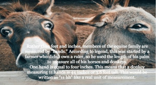 """Burro - Rather than feet and inches, members of the equine family are measured by hands."""" According to legend, this was started by a farmer who didn't own a ruler, so he used the length of his palm to measure all of his horses and donkeys. One hand is equal to four inches. This means that a donkey measuring 11 hands is 44 inches or 3.6 feet tall. This would be written as """"11 hh"""" like a real unit of measurement."""