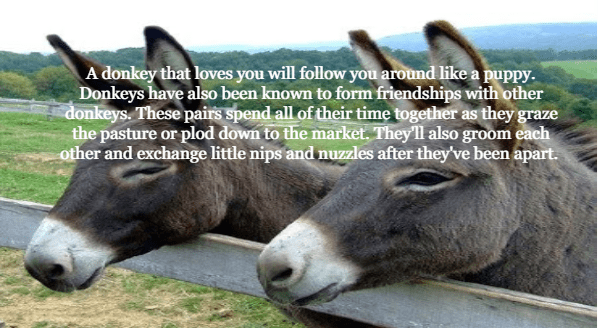 Mammal - A donkey that loves you will follow you around like a puppy. Donkeys have also been known to form friendships with other donkeys. These pairs spend all of their time together as they graze the pasture or plod down to the market. They'll also groom each other and exchange little nips and nuzzles after they've been apart.