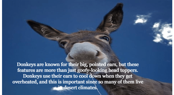 Burro - Donkeys are known for their big, pointed ears, but these features are more than just goofy-looking head toppers. Donkeys use their ears to cool down when they get overheated, and this is important since so many of them live desert climates,