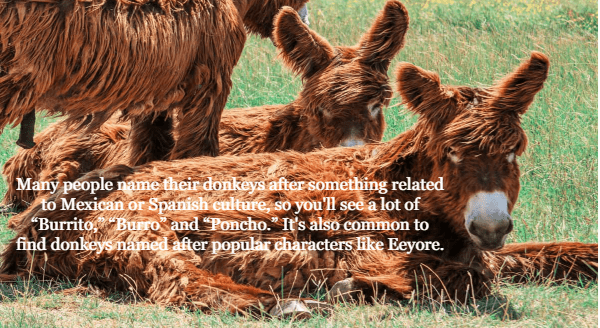 """Vertebrate - Many people name their donkeys after something related to Mexican or Spanish culture, so you'll see a lot of """"Burrito, Burro and Poncho. It's also common to find donkeys named after popular characters like Eeyore."""
