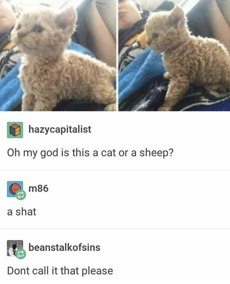 Cat - hazycapitalist Oh my god is this a cat or a sheep? m86 a shat beanstalkofsins Dont call it that please