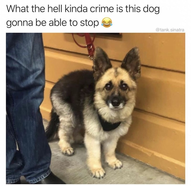 Mammal - What the hell kinda crime is this dog gonna be able to stop @tank.sinatra