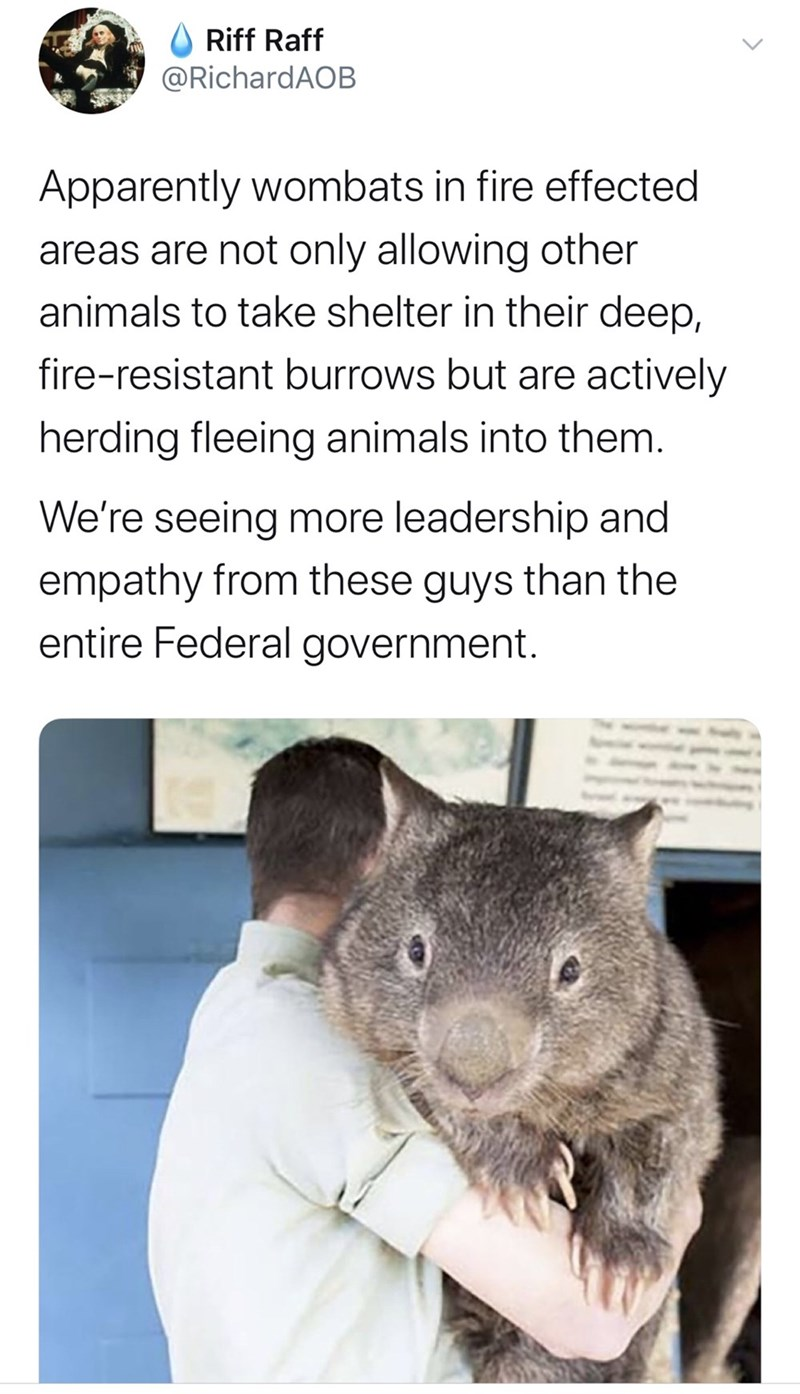 wombat - O Riff Raff @RichardAOB Apparently wombats in fire effected areas are not only allowing other animals to take shelter in their deep, fire-resistant burrows but are actively herding fleeing animals into them. We're seeing more leadership and empathy from these guys than the entire Federal government.