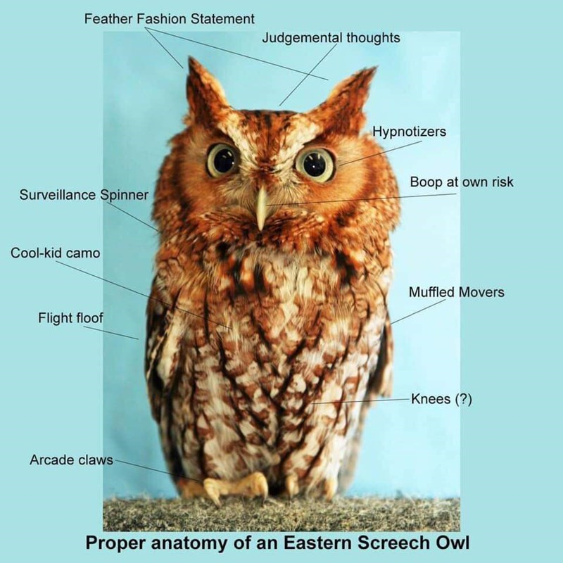 Owl - Feather Fashion Statement Judgemental thoughts Hypnotizers Boop at own risk Surveillance Spinner Cool-kid camo Muffled Movers Flight floof Knees (?) Arcade claws Proper anatomy of an Eastern Screech Owl
