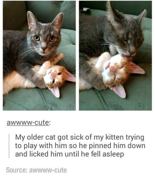 Cat - awwww-cute: My older cat got sick of my kitten trying to play with him so he pinned him down and licked him until he fell asleep Source: awwww-cute