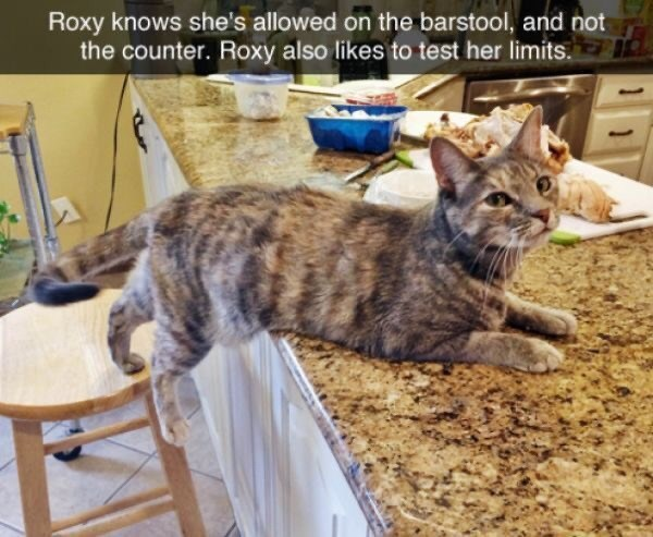 Cat - Roxy knows she's allowed on the barstool, and not the counter. Roxy also likes to test her limits.