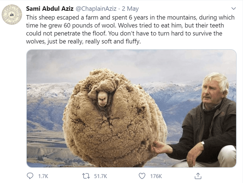Human - Sami Abdul Aziz @ChaplainAziz · 2 May This sheep escaped a farm and spent 6 years in the mountains, during which time he grew 60 pounds of wool. Wolves tried to eat him, but their teeth could not penetrate the floof. You don't have to turn hard to survive the wolves, just be really, really soft and fluffy. O 1.7K 27 51.7K 176K
