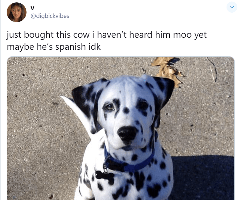 Dog - @digbickvibes just bought this cow i haven't heard him moo yet maybe he's spanish idk
