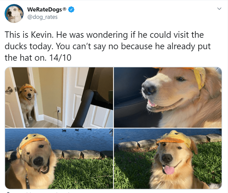 Dog - WeRateDogs ® @dog_rates This is Kevin. He was wondering if he could visit the ducks today. You can't say no because he already put the hat on. 14/10