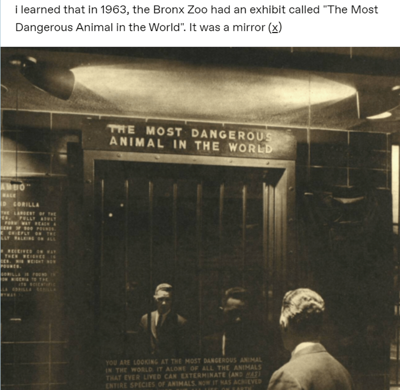 "i learned that in 1963, the Bronx Zoo had an exhibit called ""The Most Dangerous Animal in the World"". It was a mirror (E) black and white vintage photo of a man looking at his reflection at a mirror behind bars"