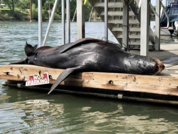 California sea lion - NO PARKING