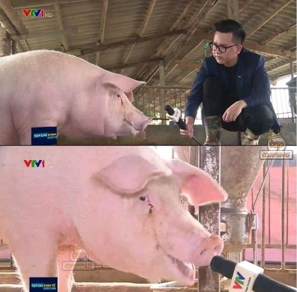 Domestic pig - VMHD TAPCH KINM SHOEN VVI TAPCHÍ KINH Tt AIA