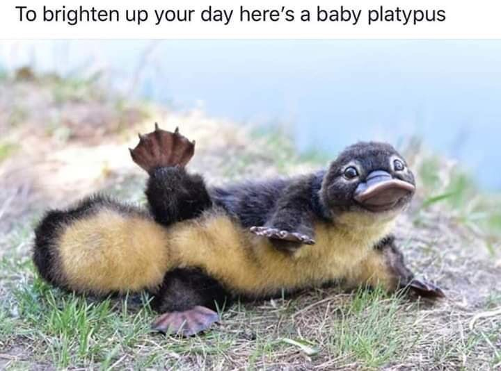 Adaptation - To brighten up your day here's a baby platypus