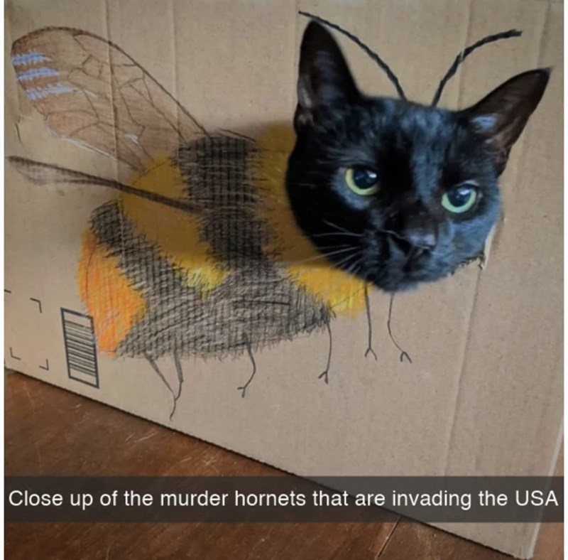 Cat - Close up of the murder hornets that are invading the USA