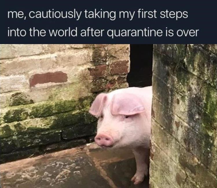Domestic pig - me, cautiously taking my first steps into the world after quarantine is over