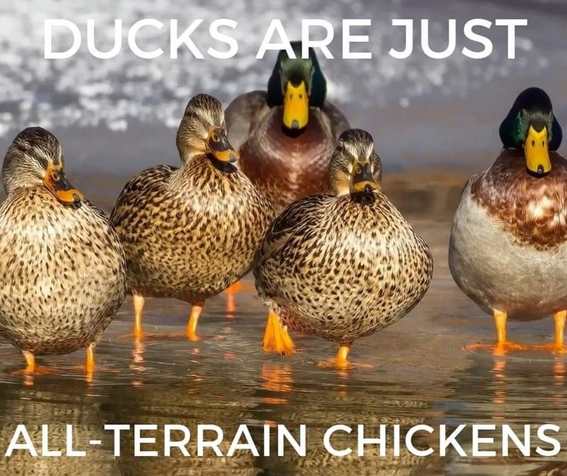 Bird - DUCKS ARE JUST ALL-TERRAIN CHICKENS