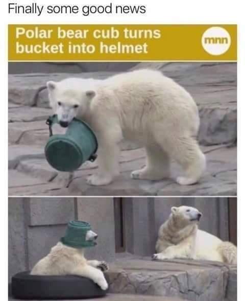 Polar bear - Finally some good news Polar bear cub turns bucket into helmet mnn