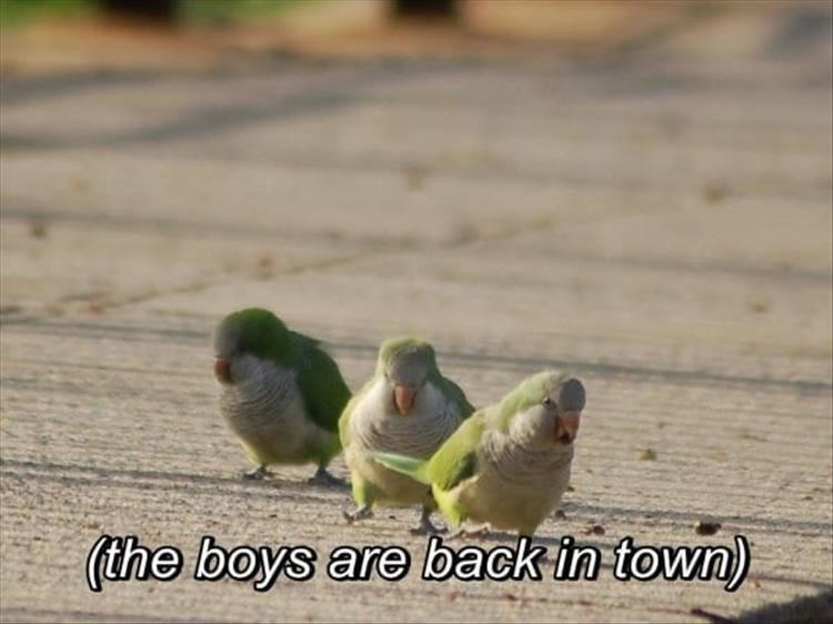 the boys are back in town three parrots parakeets green birds