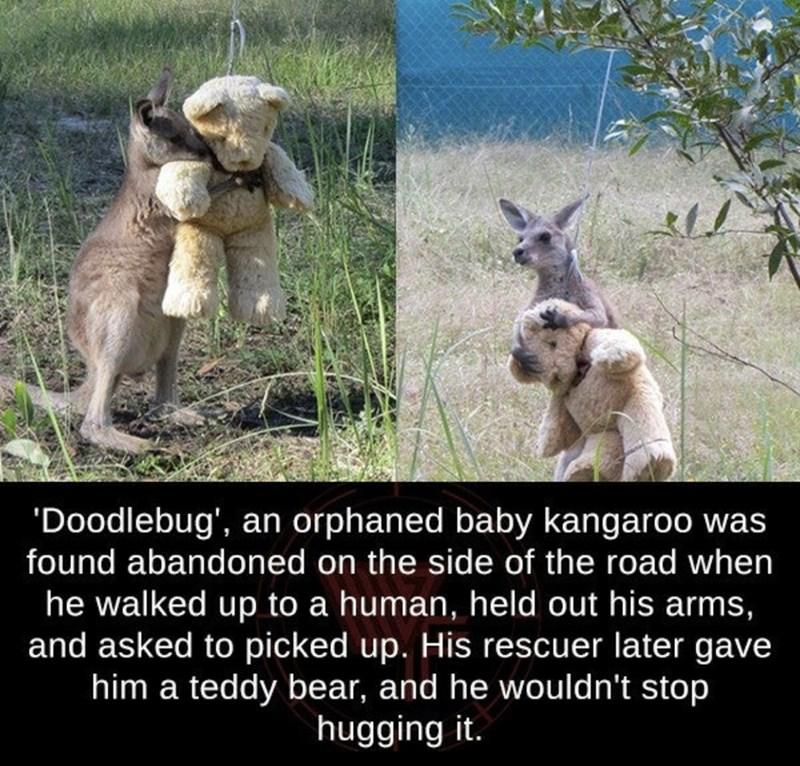 kangaroo - 'Doodlebug', an orphaned baby kangaroo was found abandoned on the side of the road when he walked up to a human, held out his arms, and asked to picked up. His rescuer later gave him a teddy bear, and he wouldn't stop hugging it.