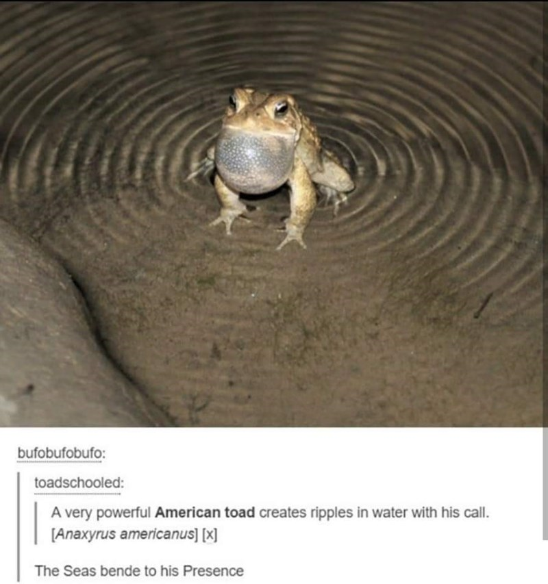 Frog - bufobufobufo: toadschooled: A very powerful American toad creates ripples in water with his call. [Anaxyrus americanus] [x] The Seas bende to his Presence