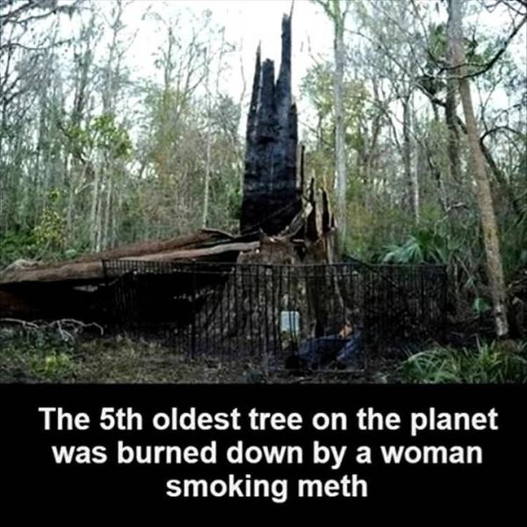 Nature - The 5th oldest tree on the planet was burned down by a woman smoking meth
