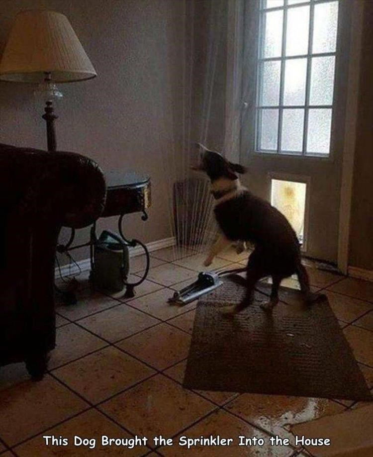 Cat - This Dog Brought the Sprinkler Into the House