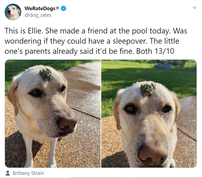 Mammal - WeRateDogs® @dog_rates This is Ellie. She made a friend at the pool today. Was wondering if they could have a sleepover. The little one's parents already said it'd be fine. Both 13/10 Brittany Strain >