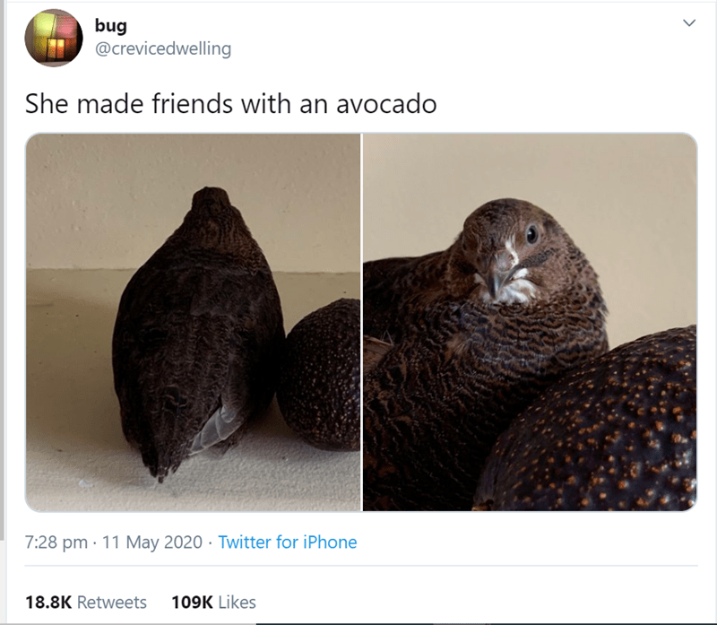 Fur seal - bug @crevicedwelling She made friends with an avocado 7:28 pm · 11 May 2020 · Twitter for iPhone 18.8K Retweets 109K Likes