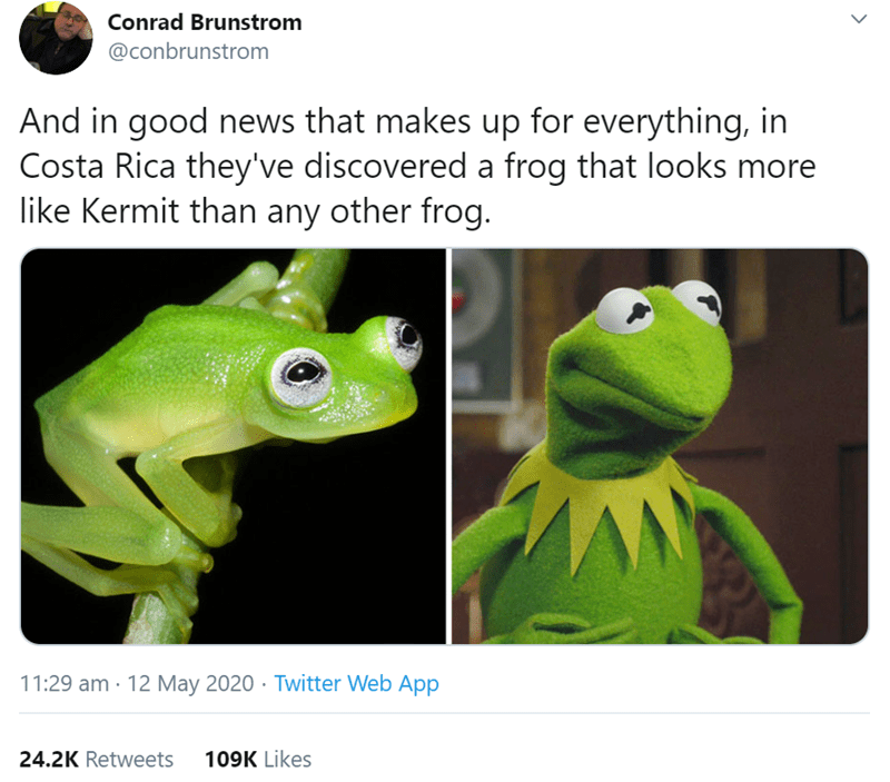 Frog - Conrad Brunstrom @conbrunstrom And in good news that makes up for everything, in Costa Rica they've discovered a frog that looks more like Kermit than any other frog. 11:29 am · 12 May 2020 · Twitter Web App 24.2K Retweets 109K Likes