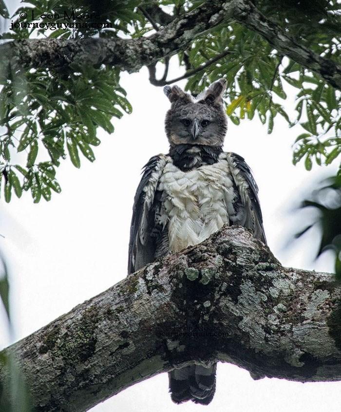 Owl - Oi rneyguya
