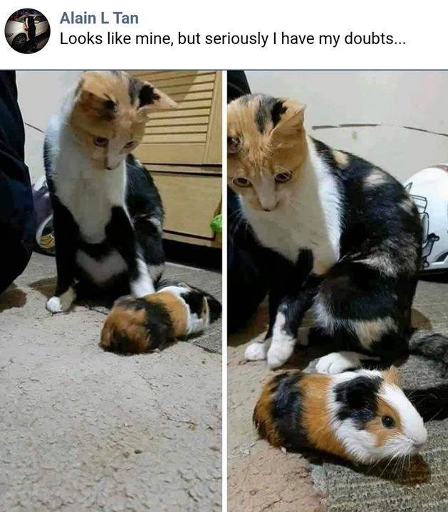 Alain L Tan Looks like mine, but seriously I have my doubts... calico cat looking at a guinea pig with a similar pattern on its fur