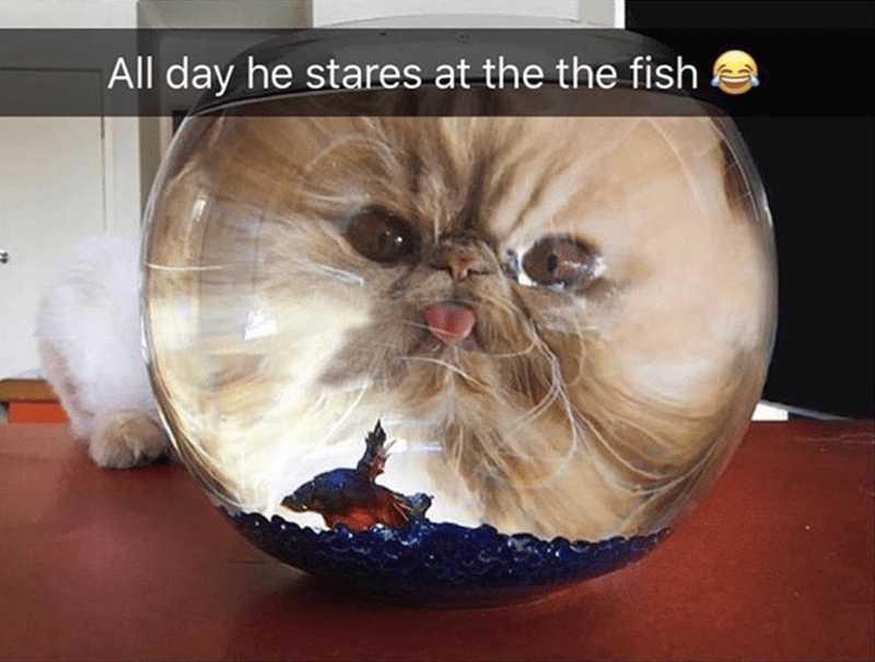 Cat - All day he stares at the the fish