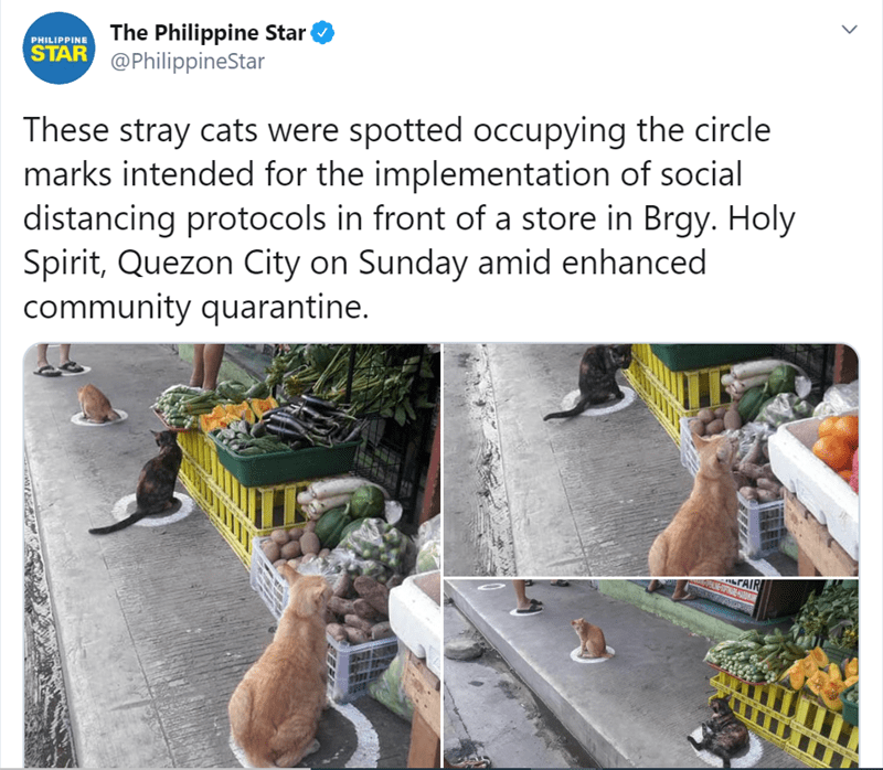 Adaptation - The Philippine Star @PhilippineStar PHILIPPINE STAR These stray cats were spotted occupying the circle marks intended for the implementation of social distancing protocols in front of a store in Brgy. Holy Spirit, Quezon City on Sunday amid enhanced community quarantine. >