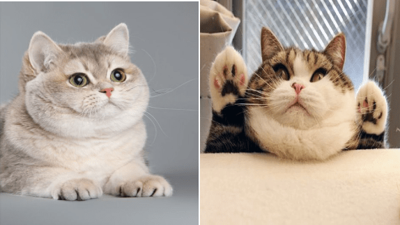 cats with double chins