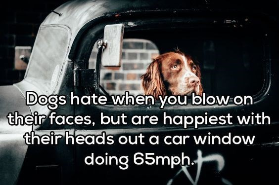 Dog - Dogs hate when you blow on their faces, but are happiest with their heads out a car window doing 65mph.t