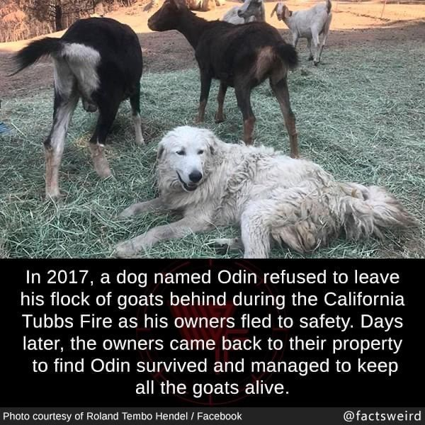 Mammal - In 2017, a dog named Odin refused to leave his flock of goats behind during the California Tubbs Fire as his owners fled to safety. Days later, the owners came back to their property to find Odin survived and managed to keep all the goats alive. Photo courtesy of Roland Tembo Hendel / Facebook @factsweird