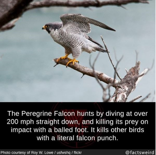 Bird - The Peregrine Falcon hunts by diving at over 200 mph straight down, and killing its prey on impact with a balled foot. It kills other birds with a literal falcon punch. Photo courtesy of Roy W. Lowe / usfwshq / flickr @factsweird