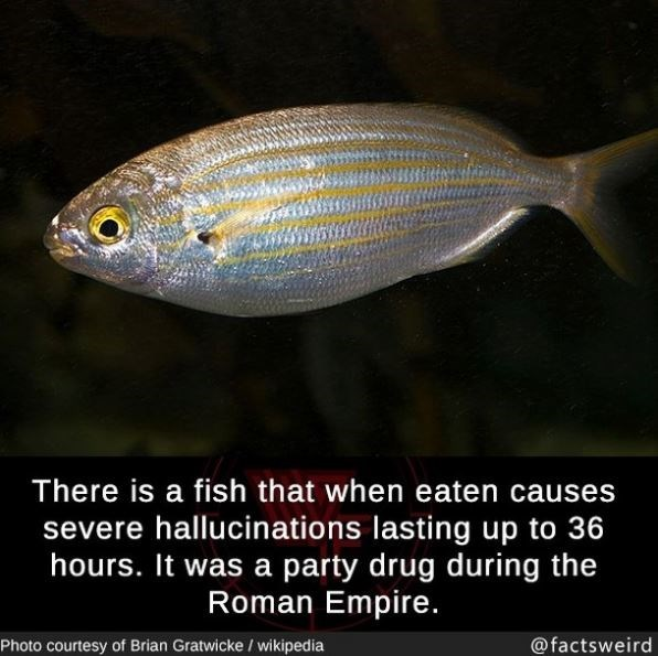 Fish - There is a fish that when eaten causes severe hallucinations lasting up to 36 hours. It was a party drug during the Roman Empire. Photo courtesy of Brian Gratwicke / wikipedia @factsweird