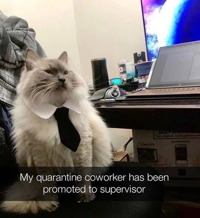 cat wearing a tie witting on a chair in front of a computer My quarantine coworker has been promoted to supervisor
