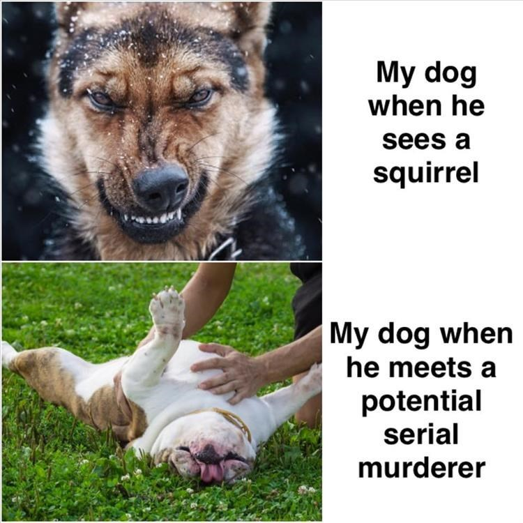 My dog when he sees a squirrel My dog when he meets a potential serial murderer angry german shepherd and a pit bull rolling on its back
