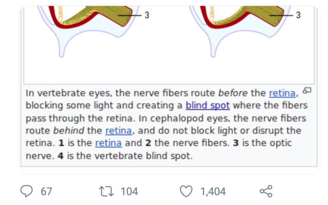 Text - 3 In vertebrate eyes, the nerve fibers route before the retina, blocking some light and creating a blind spot where the fibers pass through the retina. In cephalopod eyes, the nerve fibers route behind the retina, and do not block light or disrupt the retina. 1 is the retina and 2 the nerve fibers. 3 is the optic nerve. 4 is the vertebrate blind spot. 67 27 104 1,404