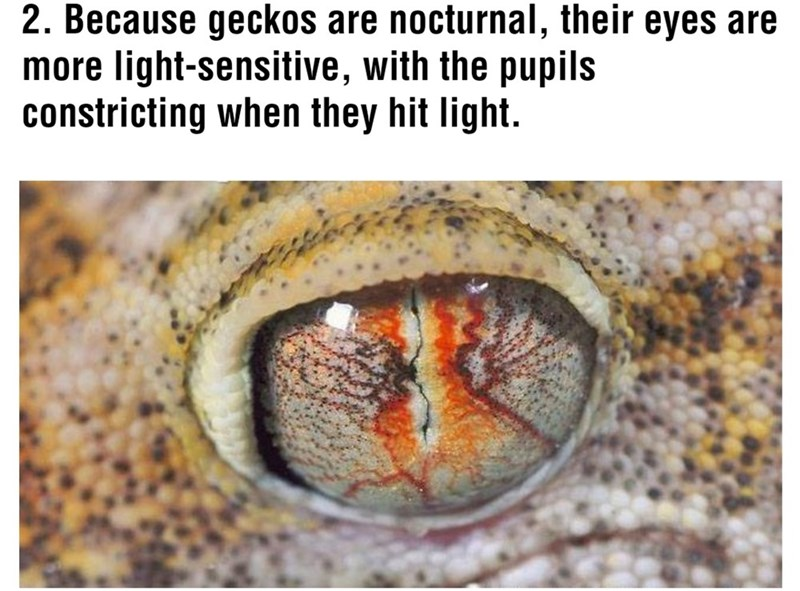 Organism - 2. Because geckos are nocturnal, their eyes are more light-sensitive, with the pupils constricting when they hit light.