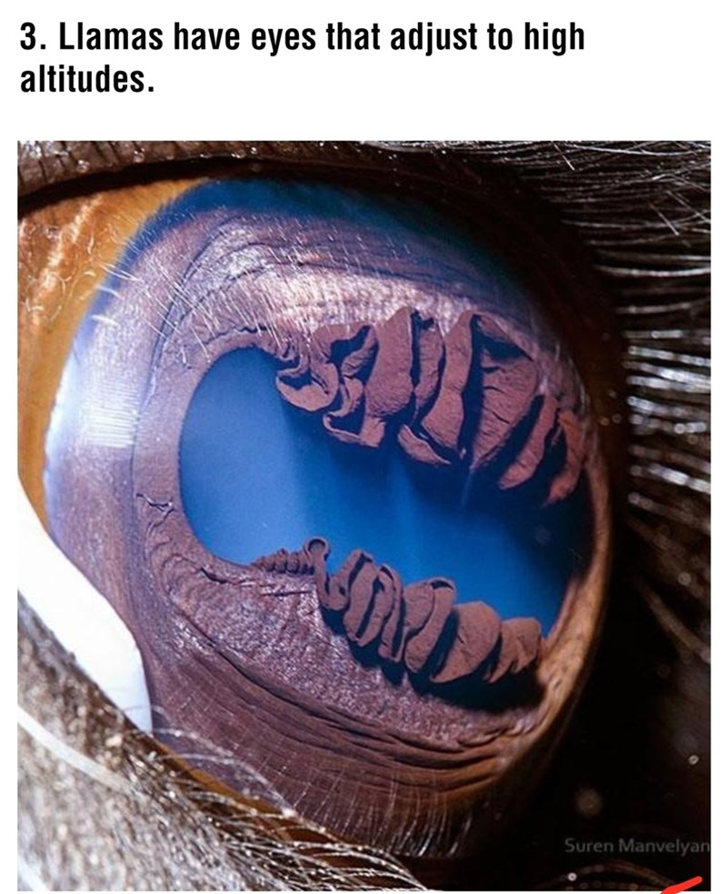 Text - 3. Llamas have eyes that adjust to high altitudes. Suren Manvelyan
