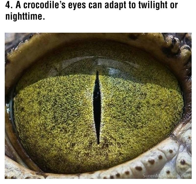 Eye - 4. A crocodile's eyes can adapt to twilight or nighttime. SurenMahvelyan.com