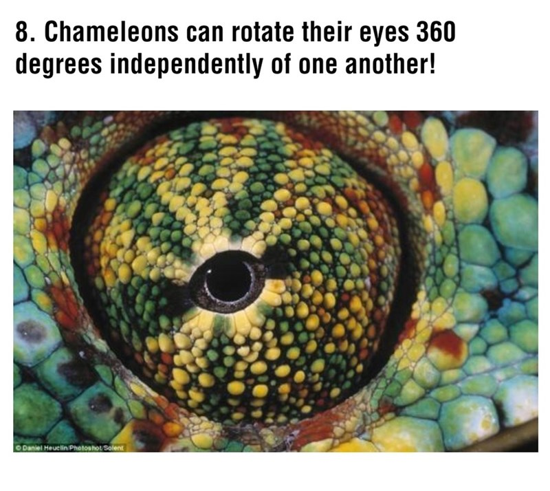 Organism - 8. Chameleons can rotate their eyes 360 degrees independently of one another! ODaniel Heuelin Photoshot/Solent
