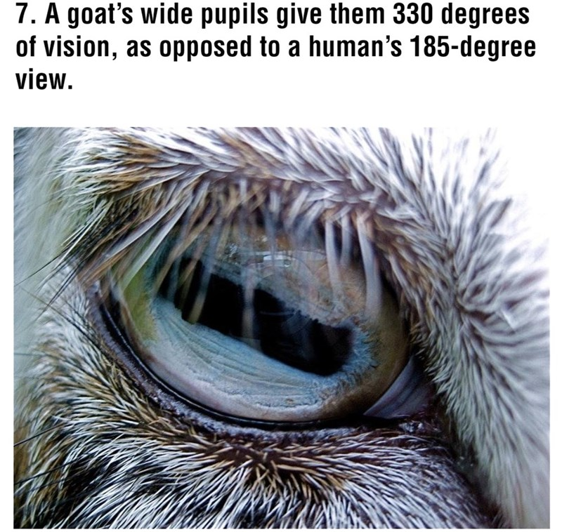 Eye - 7. A goat's wide pupils give them 330 degrees of vision, as opposed to a human's 185-degree view.